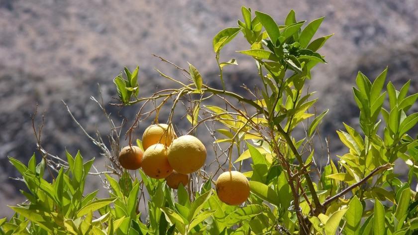 Valle Del Elqui Orangen