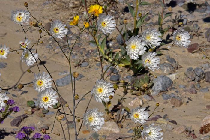 Desert Sonoran Ghost Flower