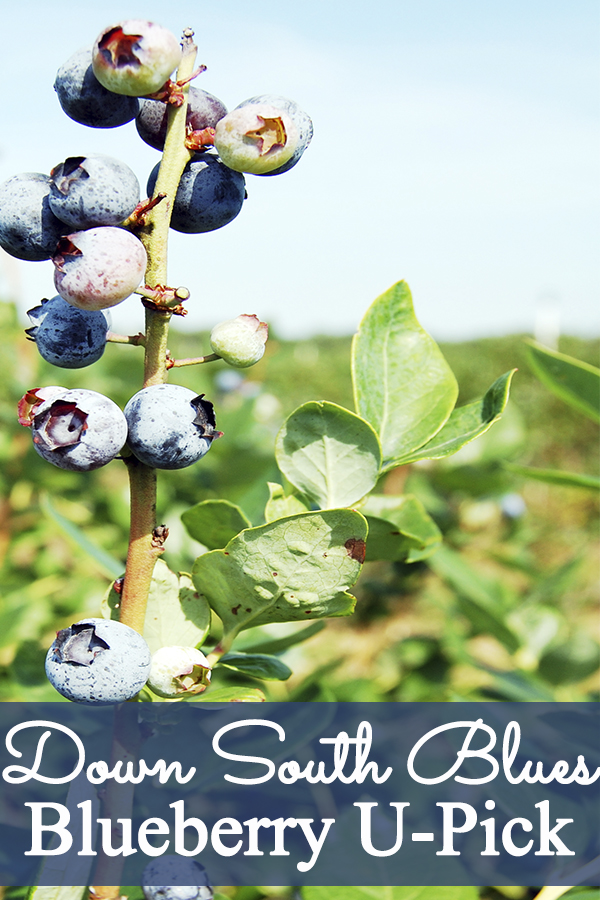 2fc3bcfd481 Blueberry U-Pick at Down South Blues - Mom Explores Southwest Florida