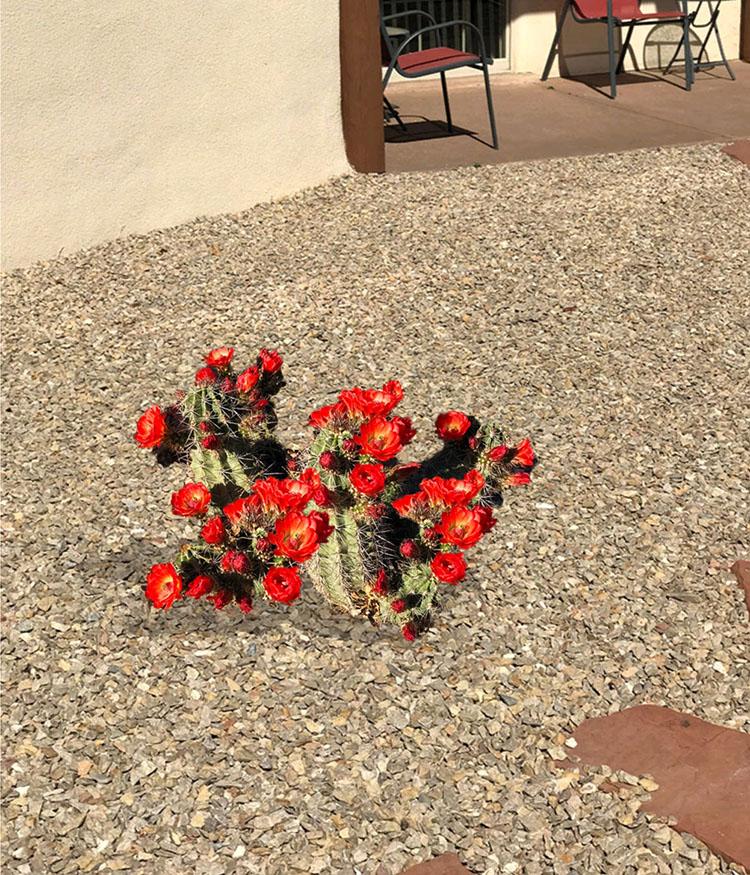 The Claret Cup Cactus Southwest Garden