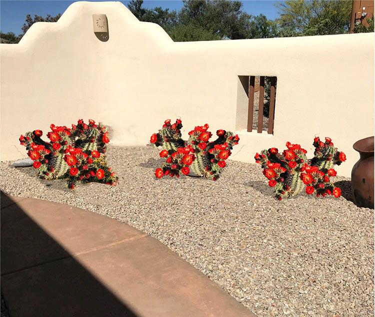 The Claret Cup Cactus - Southwest Garden