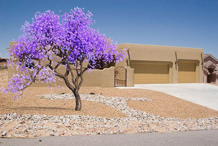 Jacaranda Tree Southwest Landscape