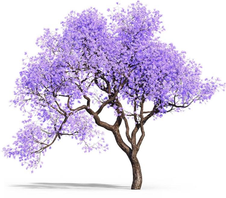 Jacaranda Trees landscape