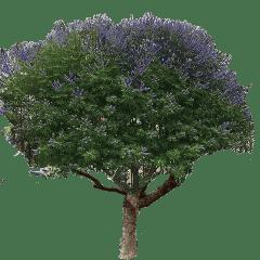 vitex-tree-nobacbground-1