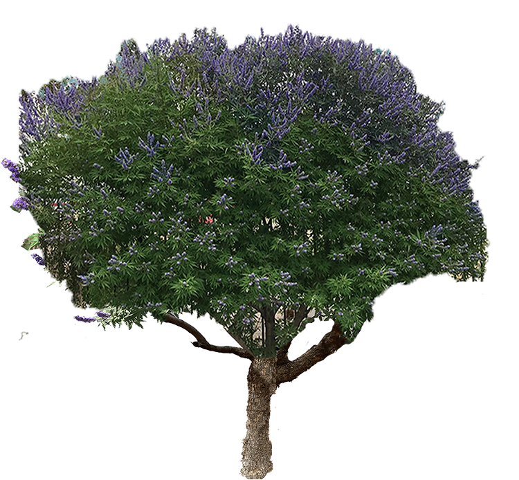 vitex-tree-nobacbground-1