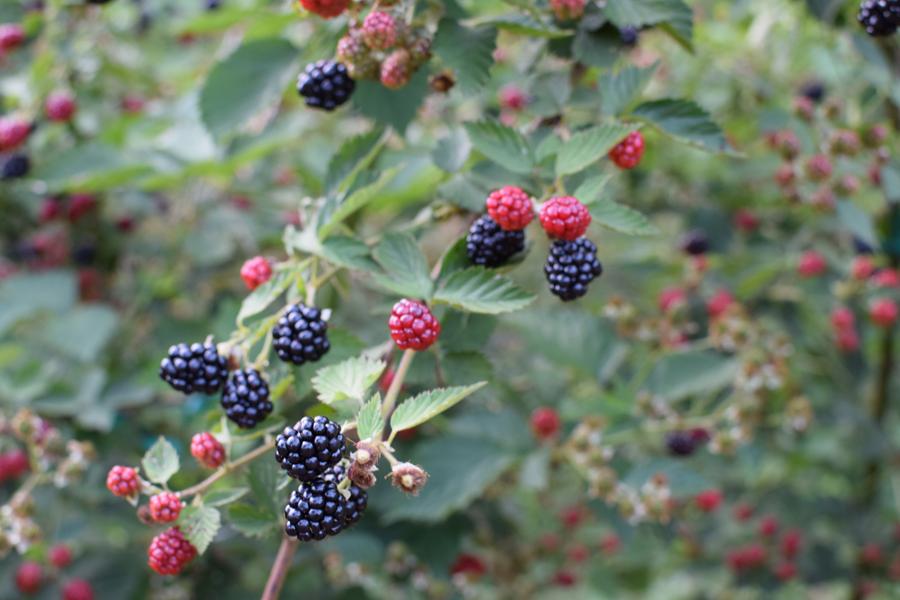 Irregardless' Well Fed Garden Blackberry Festival