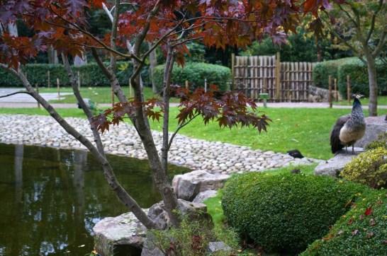 Kyoto Garden Holland Park Japanese maple tree