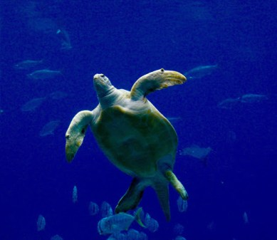 Sea turtles, the gentle slowpokes of the ocean and a must see at any aquarium. Do us all a favor and use less straws.