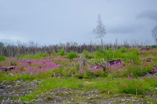 Fireweed in an old burn. I wonder how they named that stuff?
