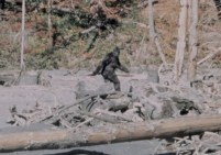 A still from the 1967 Patterson-Gimlin film, which started the Bigfoot craze