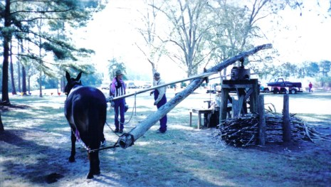 A mule turns a cane grinder, old school style! Photo by Margie Love, courtesy of Liberty County Convention & Visitors Bureau