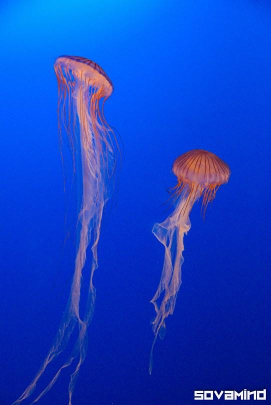 Jellies, Aquarium, Vancouver, BC