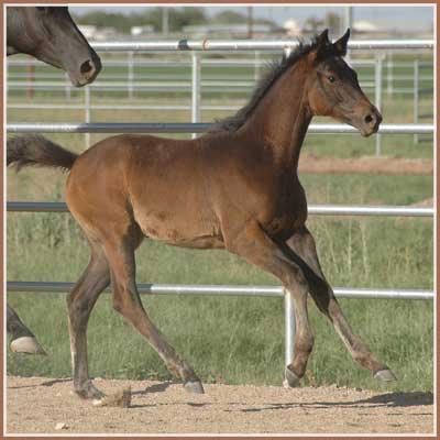 Trakehner Foals