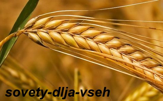 Химический состав зерна и хлеба