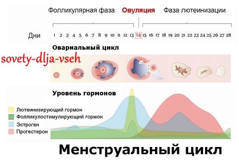 менструальный цикл и его фазы