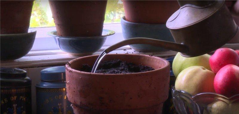как вырастить базилик дома