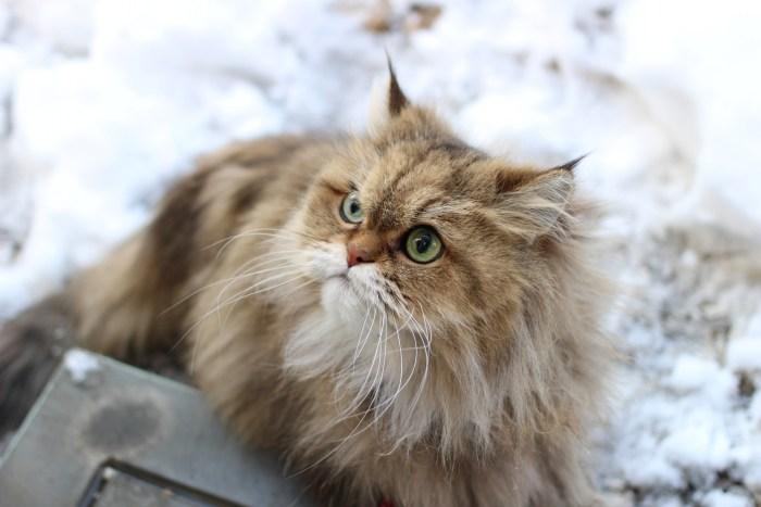 ペルシャ猫の特徴