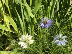 5月庭に咲いた花ニゲラ