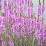 お盆にお供えする花の種類ミソハギ
