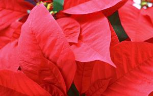 クリスマスに見る葉っぱの名前はポインセチアの葉