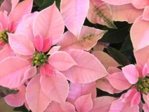 ポインセチアの花言葉ピンクの花は?