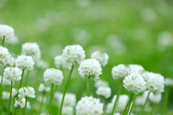 春の雑草の花の名前白く咲く種類シロツメクサ