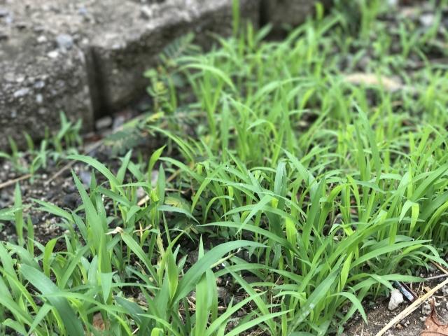 庭の草を撲滅するぞ!