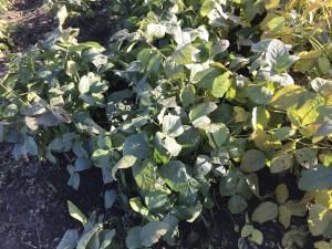 枝豆まつり嬉野葉っぱが立派