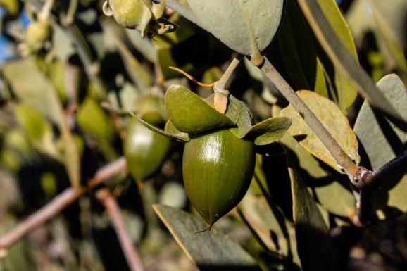 Jojob oil vs almond oil
