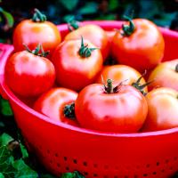 Tomaten kweken van een schijfje tomaat
