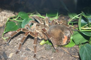 Theraphosa_blondi_flickr (1)