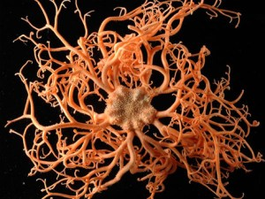 census-marine-life-aberdeen-basket-star_23054_big