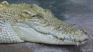 crocodile-348319_1280