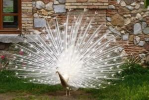 peacock-386304_1280