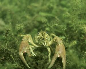 crayfish-386975_1280