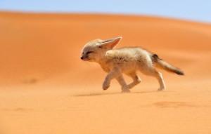 fennec-fox-walking-desert