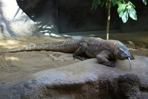 komodo-dragon-237805_1920
