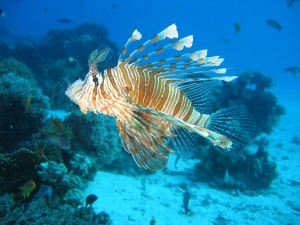 lionfish-587709_1920