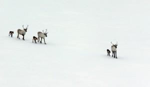 wild-reindeer-624399_1920