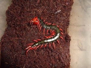Scolopendra_subspinipes_mutilans_2