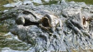 crocodile-65538_640