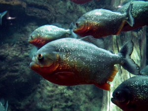 piranha-262575_640
