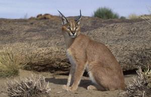 Caracal, Felis caracal, Augrabies Falls National Park, N. Cape, South Africa
