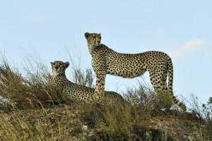 cheetahs-802897_640
