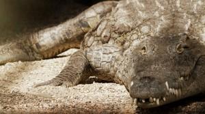crocodile-1042523_640