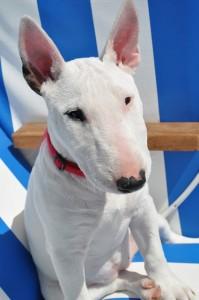 bull-terrier-112515_640