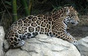 jaguar-935229_640