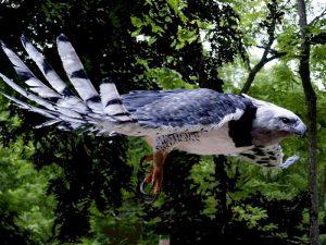 harpy_eagle_2_