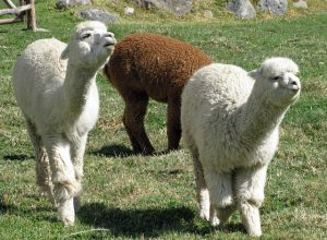 alpacas-336154_640