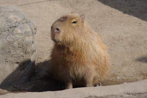 capybara-841153_640